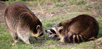 Two Raccoons / Procyon lotor fighting Stock Image