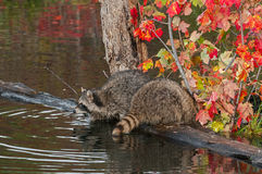 Two Raccoons (Procyon lotor) Front and Rear Stock Images