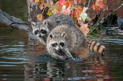Two Raccoons Procyon lotor Look Straight Out Autumn. Captive animals stock photography