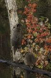 Two Raccoons (Procyon lotor) One Climbing Tree Stock Images
