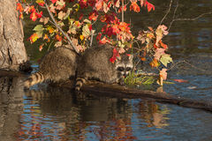 Two Raccoons (Procyon lotor) Turned on a Log Royalty Free Stock Photos