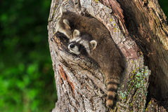 Two Raccoons (Procyon lotor) Wedged in Knothole Royalty Free Stock Photography