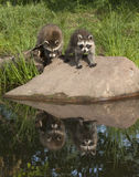 Two Raccoons on a Rock with Water Reflection Royalty Free Stock Images