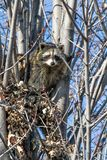 Raccoons in a tree Stock Image