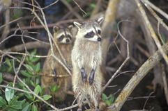 Two raccoons in wild, Everglades National Park, 10,000 Island, FL Royalty Free Stock Photography