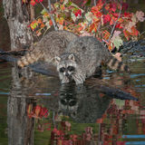 Two Raccoons (Procyon lotor) Elbows Deep in Water Royalty Free Stock Photography