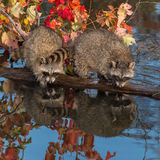 Two Raccoons (Procyon lotor) Look Out From Log Stock Photos