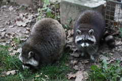 Two raccoons Stock Photography