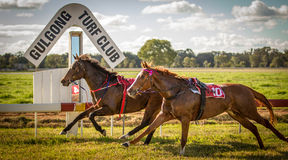 Two race horses race without jockeys at Gulgong NS. Two race horses race without jockeys taken June 2014 at Gulgong NSW Australia Royalty Free Stock Images