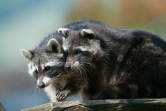 Two racoons Royalty Free Stock Photos