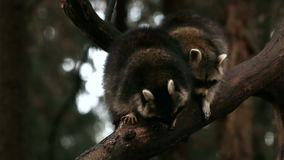 Two racoons playing and tease each other on a tree in nature closeup stock footage
