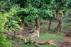 Free Two Radio Or Tracking Collar Bengal Tigers Or A Mating Pair In Beautiful Green Trees And Background At Sariska Stock Photos - 154248043