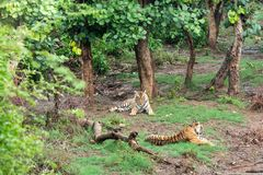 Free Two Radio Or Tracking Collar Bengal Tigers Or A Mating Pair In Beautiful Green Trees And Background At Sariska Royalty Free Stock Photo - 154248105