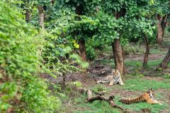 Free Two Radio Or Tracking Collar Bengal Tigers Or A Mating Pair In Beautiful Green Trees And Background At Sariska Royalty Free Stock Photo - 154248195