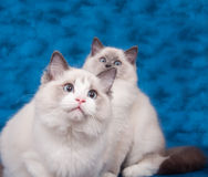 Two ragdoll cats on blue background Stock Images