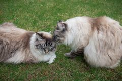 Two Ragdoll Cats Relaxing On A Grass Lawn Stock Photo