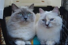 Two Ragdoll cats Royalty Free Stock Photo