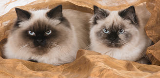 Two ragdoll cats Royalty Free Stock Images