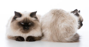 Two ragdoll cats on white background. Front and backside of ragdoll cats on white background royalty free stock photography
