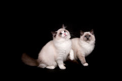Two ragdoll kittens on black Royalty Free Stock Image