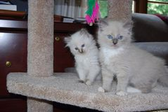 Two Ragdoll Kittens Royalty Free Stock Images