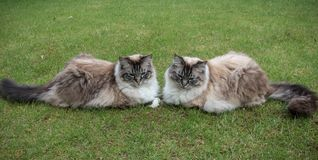 Two Ragdoll Seal Lynx Tabby Cats Sitting Together On A Grass Lawn. Royalty Free Stock Photography