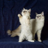 Two ragdolls playing. Two young ragdoll cats playing on a dark background Stock Photos