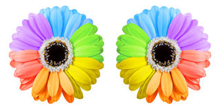 Two rainbow gerbera flowers Royalty Free Stock Photo