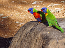 Two rainbow lorikeet background. Two rainbow lorikeet parrots sitting on a rock with copy space. Trichoglossus haematodus Royalty Free Stock Photography