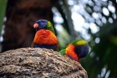 Two Rainbow Lorikeet, Trichoglossus haematodus parrots. Two Rainbow Lorikeet, Trichoglossus haematodus colorful parrots Stock Photos