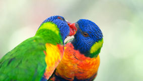Two rainbow lorikeets exchanging food Royalty Free Stock Image