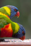 Two Rainbow Lorikeets. Feeding in the nature. Vertical version royalty free stock photo