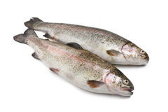 Two rainbow trouts Stock Photography
