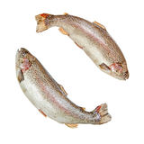 Two rainbow trouts on white. Two jumping rainbow trouts isolated over white background stock images