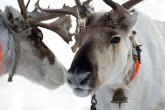 Two raindeers. From north of Russia stock images