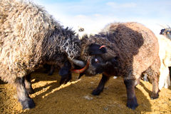Two rams butting. But it may and goats Stock Photography