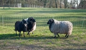 Two rams with steep horns looking at each other stock images