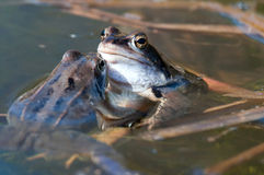 Two Rana Arvalis Moor Frogs Royalty Free Stock Image