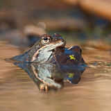 Two rana arvalis moor frogs Royalty Free Stock Photo