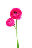 Two ranunculus flowers Stock Images