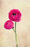 Two ranunculus flowers on vintage background Royalty Free Stock Images