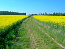 Two rape fields Royalty Free Stock Image