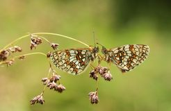Two stunning rare Heath Fritillary Butterfly Melitaea athalia perching on seeding grass, facing each other in a woodland clear royalty free stock images