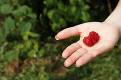 Two raspberry in a hand Royalty Free Stock Images