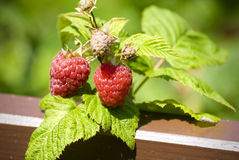 Two raspberry. Two nice raspberry on branch Stock Photography