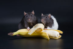Two Rat and banana Royalty Free Stock Images
