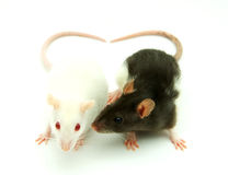 Two Rats Royalty Free Stock Photos