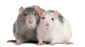 Two Rats, 12 Months Old Stock Photos