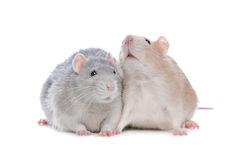 Two rats. In front of a white background Stock Image