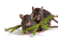 Two rats Royalty Free Stock Photo